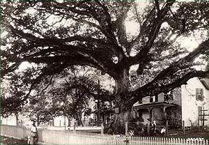 Wye Oak - Wye Oak, September 1929