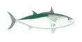 XRF-Euthynnus alletteratus.png