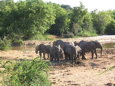 African Bush Elephants in Yankari National Park, Bauchi State. Yankari Elephants.jpg