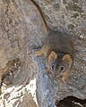Yellow-footed Antechinus (Antechinus flavipes) (16102546213).jpg