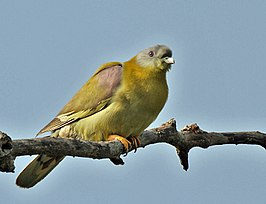 Yellow-footed Green Pigeons (Treron phoenicoptera)- chlorigaster race at Sultanpur I Picture 014.jpg