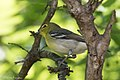 Yellow-throated Vireo National Butterfly Center Mission TX 2018-03-07 13-57-49 (40034114024).jpg