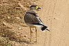 Yellow-wattled lapwing (Vanellus malabaricus) 2.jpg