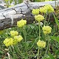 Yellow Buckwheat (15034618858).jpg
