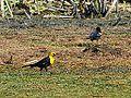Yellow Headed Blackbird (7399600870).jpg