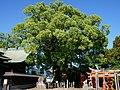 Yoka-jinja Shrine camphor tree.JPG