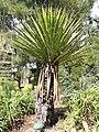Yucca - Jardin d'oiseaux tropicaux - DSC04991.JPG