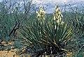 Yucca confinis fh 1180.40 NM B.jpg
