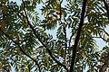 Zanthoxylum ailanthoides var. ailanthoides (22356398728).jpg