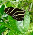 Zebra Longwing Butterfly, Oviedo, Florida.jpg
