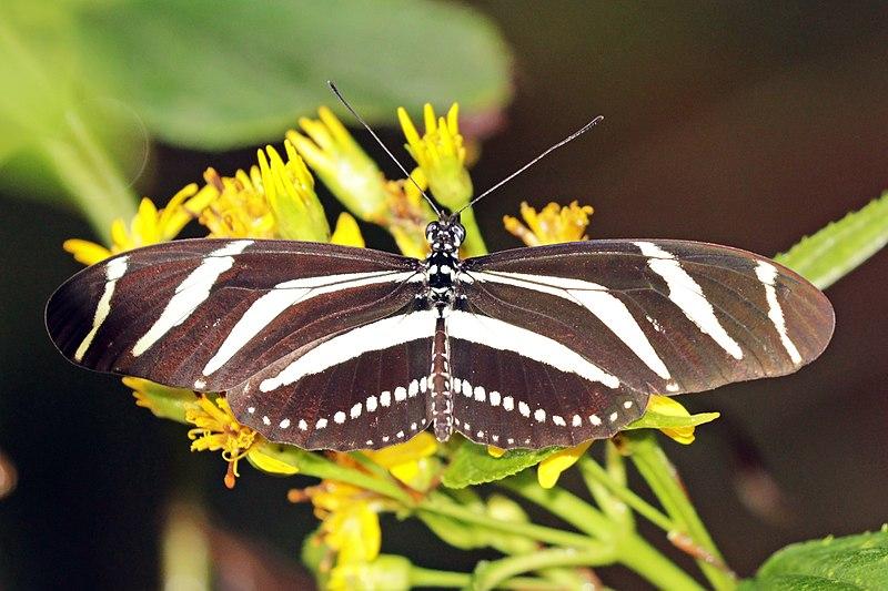 Bộ sưu tập cánh vẩy 4 - Page 46 800px-Zebra_longwing_%28Heliconius_charithonia_vazquezae%29