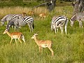 Zebras chobe national park.jpg