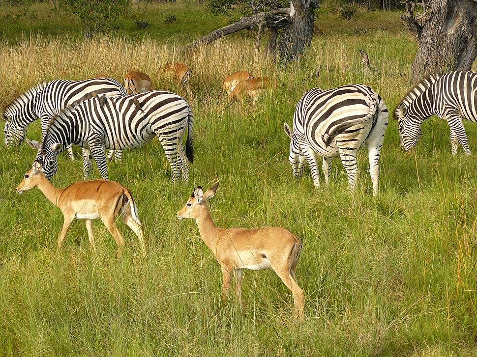 Zebras chobe national park