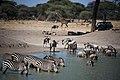Zebras drinking in Tarangire National Park.JPG