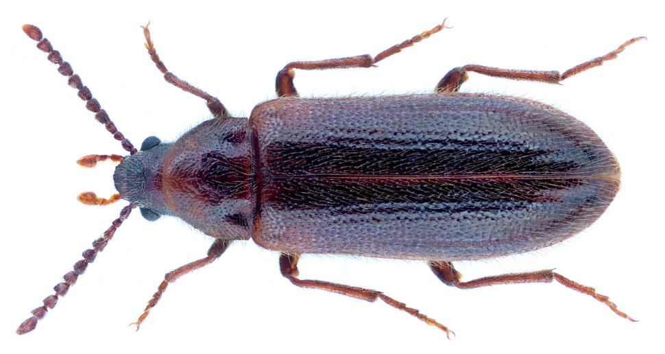 Zilora ferruginea (Paykull, 1798)