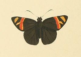 Zoological Illustrations Peleus aeacus.jpg