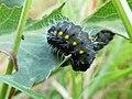 Zygaena erythrus caterpillar.jpg