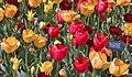 """Fringed Tulips"" -- ChIcago (IL) Botanic Garden April 2012 (7146888429).jpg"