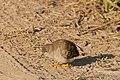 """Long-tailed"" Ground Dove (Uropelia campestris) without tail ... (29326752696).jpg"