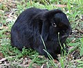 (1)Lop eared rabbit-2.jpg