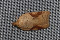 (1044) Acleris ferrugana (4441573901).jpg