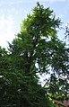 Ботанічна пам'ятка природи «Гінкго дволопатеве» вул. І. Франка, 122.jpg