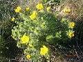 Горицвіт у селі Просяному 02.jpg