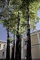 Група вікових дерев тополі білої 18.jpg