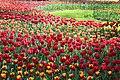 Елагин парк, фестиваль тюльпанов554.jpg