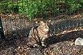 Київський зоопарк Кішка IMG 3451.jpg