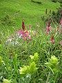 Орхидея и панаска детелина 05.jpg