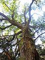Старый дуб (old oak) - panoramio (1).jpg