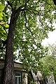Тюльпанове дерево, м. Кам'янець-Подільський.jpg
