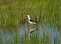 Ходулочник - Himantopus himantopus - Black-winged stilt (Common stilt, Pied stilt) - Кокилобегач - Stelzenläufer (33748603040).jpg