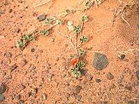 Чезнейя монгольска (Chesneya mongolica) - рідкісна рослина, яка мешкає в пустелі.jpg
