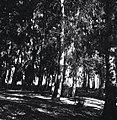"""בן שמן - מיערות הקק""""ל.-JNF030197.jpeg"""
