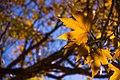 برگ زرد-پاییز-yellow leaves-falling leaves 21.jpg