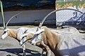 تیزشاخ آفریقایی-باغ وحش مشهد ایران- scimitar oryx in zoo in iran 02.jpg