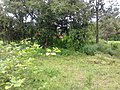 มะเขือพวง บ้านเหล่าต่างคำ - panoramio.jpg