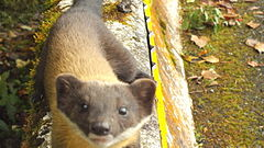 台灣黃喉貂Formosan yellow-throated marten.jpg
