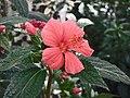 孔雀葵屬 Pavonia schrankii -英格蘭 Wisley Gardens, England- (9207603728).jpg