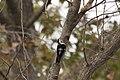 小啄木鳥 (32197411781).jpg