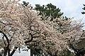 小田原城 - panoramio (1).jpg