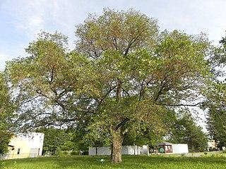 "<i>Ulmus davidiana <span style=""font-style:normal;"">var.</span> japonica</i> Variety of tree"
