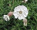 海濱蠅子草 Silene vulgaris ssp maritima -巴黎植物園 Jardin des Plantes, Paris- (9229896832).jpg
