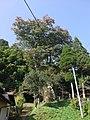 竹の熊の大ケヤキ - panoramio.jpg