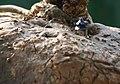 笑布袋 Ibervillea sonorae - panoramio.jpg