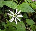 腺毛繁縷 Stellaria nemorum -斯洛文尼亞 Bled Vintgar Gorge, Slovenia- (27705098255).jpg