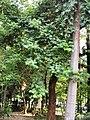 膠蟲樹 Butea monosperma 20201006101809 04.jpg