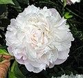芍藥(薔薇型)-玉樓春 Paeonia lactiflora Rose-series -北京景山公園 Jingshan Park, Beijing- (9240226494).jpg